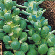 Brussels Sprout Bedford Darkmar 21 - Appx 1000 seeds